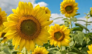 Sunflowers blooming for spring